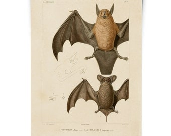 Bats Illustration Poster Vintage Reproduction. Mexican Freetail Bat Tadarida brasiliensis Molossus rugosus Zoology austin biology. CP276