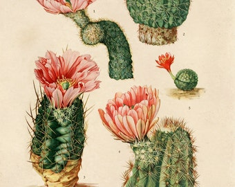 Palm Springs Cactus Blossom Botanical Print Plate IV. Educational Vintage Chart Diagram Cactus Desert Poster Pull Down Chart flowers CP264