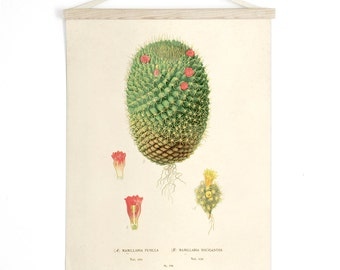 Botanical Cactus Pull Down Chart - Vintage Reproduction Print. Canvas Diagram Educational Wall Hanging Succulent Flowers - CP225CV