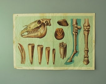 1960's Horse Skull Poster