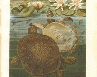 1905 Chinese Softshell Turtle - Pelodiscus sinensis Original Antique Chromolithograph
