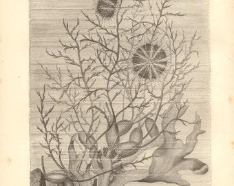 1878 Sea Urchins Original Antique Engraving