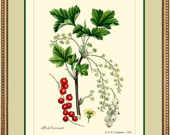 RED CURRANT - Botanical 11x14 or 12x16 vintage print reproduction - 280