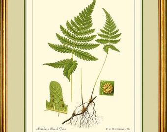 NORTHERN BEECH FERN - Vintage Botanical print reproduction 500