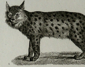 1835 Antique print of LYNX, different species. Lynxes. Canada Lynx. Caracal. Desert Lynx. Big Cats. 181 years old rare Buffon engraving