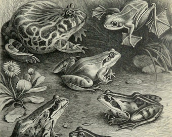 1897 Antique print of FROGS, different species. Flying frog. Toads. Amphibians. 119 years old plate