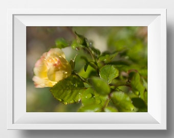 Yellow Rose Photograph Print, Printable Roses, Country Living Decor, Yellow Décor, Yellow Accent, Printable Floral Art, Living Room Décor