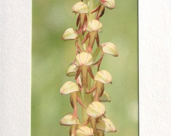 Man Orchid