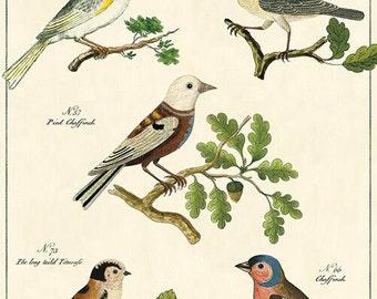Vintage Look Oiseaux Birds Gift Wrap or Poster by Cavallini
