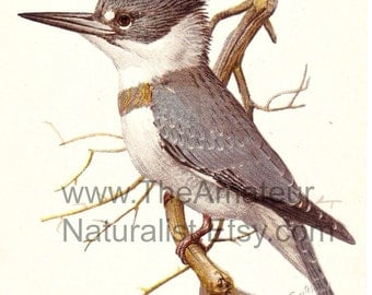 Vintage Bird Illustration, Belted King Fisher, Antique Print, Digital Download