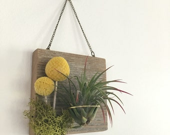 Cedar Air Plant Holder with Billy Buttons and Moss