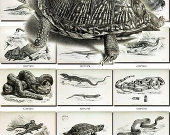 REPTILES & AMPHIBIAS-20-bw Collection of 151 black-and-white vintage images Frog Snake Alligator animals digital download printable pictures