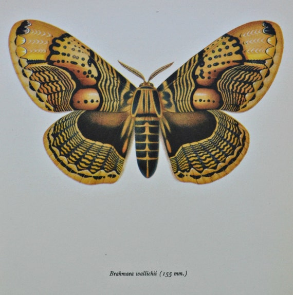 Vintage color book plate. Old print. Moth  Brahmaea wallichii . 1966 illustration. 8 x 10'1 inches or 20'5 x 26 cm.