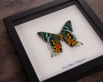 Real Framed Urania Ripheus in Black Wooden Frame | The Sunset Moth | Real Framed Moth | Taxidermy