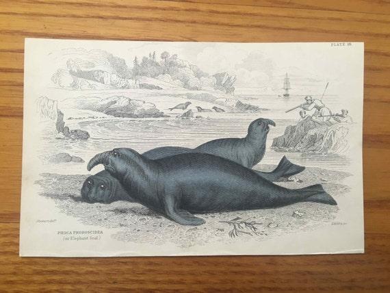 1833 ANTIQUE SEAL ENGRAVING elephant seal original antique sealife print