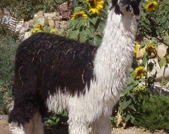 Suri Alpaca Fiber, Raw Suri Fiber,Washed Alpaca Fiber, Alpaca Fiber from Monroe
