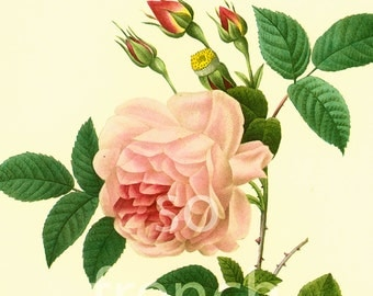 Rosa Indica Large Size Botanical print REDOUTE FLOWERS Garden Nature Wall Art