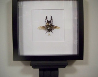 Entomology insect steampunk mechanical stag beetle
