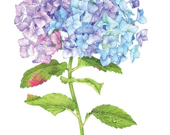 Blue Hydrangea. Botanical illustration. Fine art watercolor print.