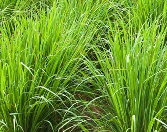 Lemongrass Stalks Fresh From The Garden With Roots For Easy Planting Good For Cooking ,Tea And Health Benefits