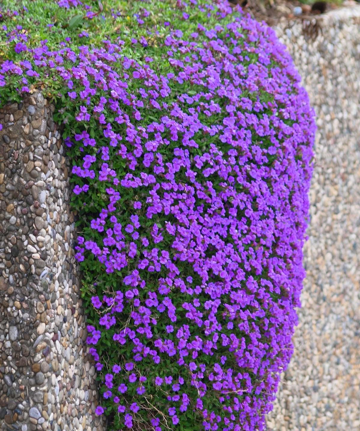 50 aubrieta seeds purple rockcress perennial groundcover for Purple flower ground cover perennial