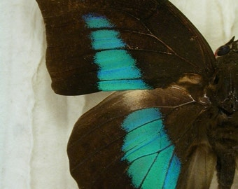 Iridescent blue-green Prepona -Real Framed Butterfly