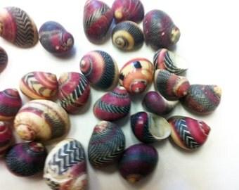 Nerita communis colored  sea shells 50 shells rare 1/2 inch crafts jewelry