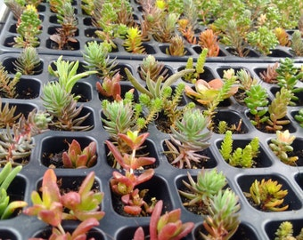 50 Mixed Rockery / Alpine plug plant collection,Fairy gardens,wedding favor,succulents.###REDUCED###