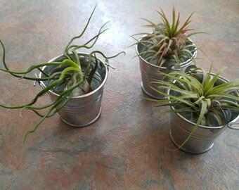 Bucket Babies Air Plants