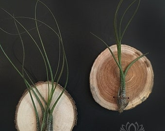Tillandsia Wood Slice Plaque by Zentilly©