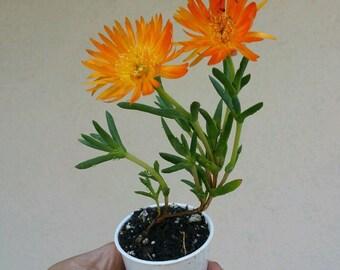 Bush Gold Ice Plant - Lampranthus Aurantiacus - 3 Plants