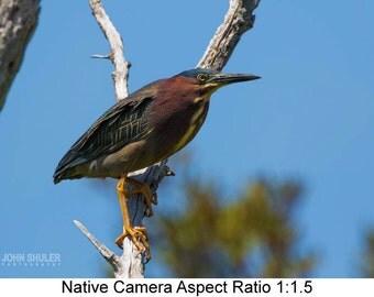 Green Heron #1: Bird art photography prints for home or office wall decor.