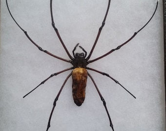 Giant Golden Orb Web Spider