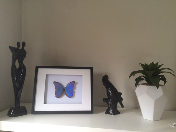 Real butterfly Huge Morpho Didius in black and white shadow box frame.