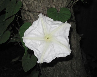 8 Moon Flower Seeds - Ipomoea alba - The mysterious ...