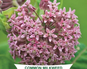 COMMON MILKWEED SEEDS - Asclepias syriaca - Packet of 100 Seeds - Protect Monarch Butterfly Habitat