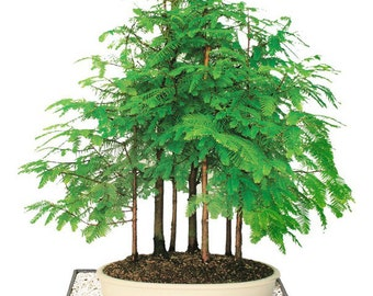 Dawn Redwood 7 Tree Bonsai Forest (Outdoor)