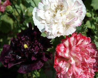 Antique Peony Poppy Flower Seeds/Mix/Papaver/Annual  100+
