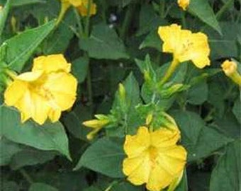Mirabilis Jalapa Yellow Flower Seeds/Four O'Clock/Perennial 40+