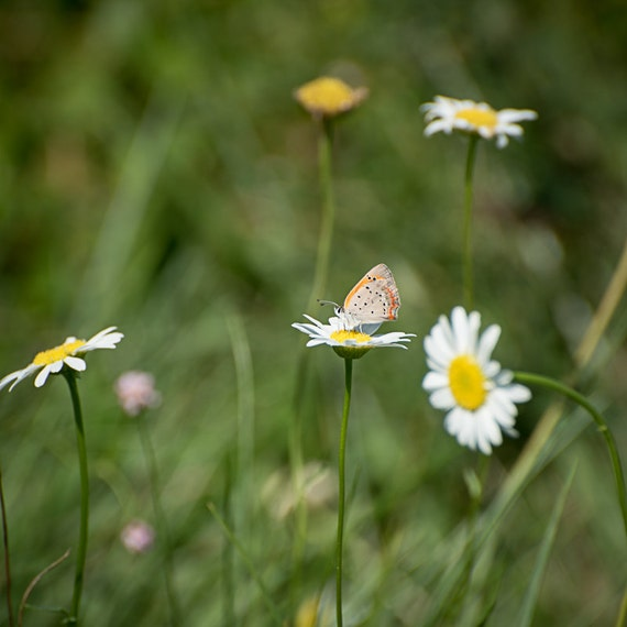 Butterfly and Daisies Photograph - Fine Art Print - Flower Wall Art - Butterfly Wall Decor - Nature Photography - Pictures of Butterflies