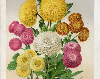 Instant Download Botanical Mums Chrysanthemums Flower Bouquet  400 Dpi Antique Print Repro For Crafting Curtis
