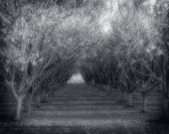 Fine Art Photography, Nature Photography, Trees, Orchard, Black and White Photography, Black and White