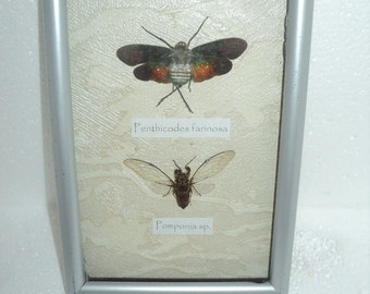 A collection of 2 exotic insects in the frame !