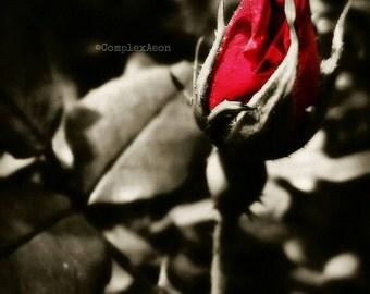 Rose 8x10 Color Photo Print