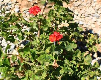 3-Red Geranium Cuttings