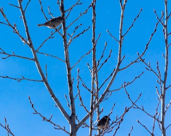 Sparrows in early spring