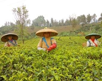 3 Tea Leaf Pickers