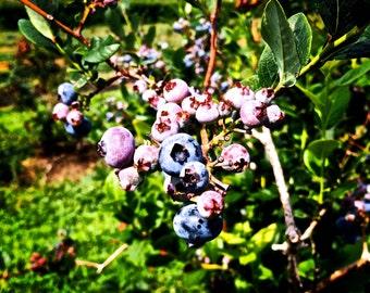Blueberry Dreams