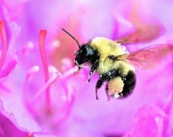 Bumble Bee, Bee, Flying Bee, Bee Art, Nature Art, Nature Photography, Wall Art, Home Decor, Office Decor, Bathroom Decor