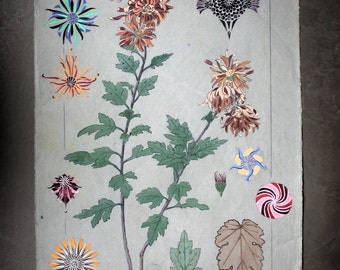 French botanical study in watercolor and gouache